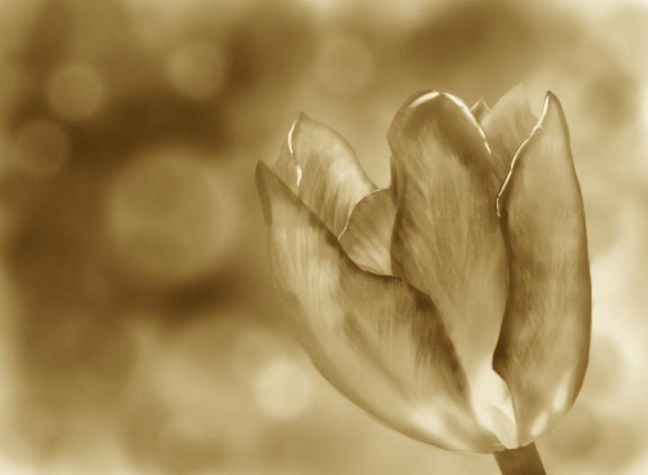 Tulip (Sepia)